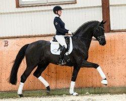 dressage horse Finest (Hanoverian, 2011, from Fürstenball)