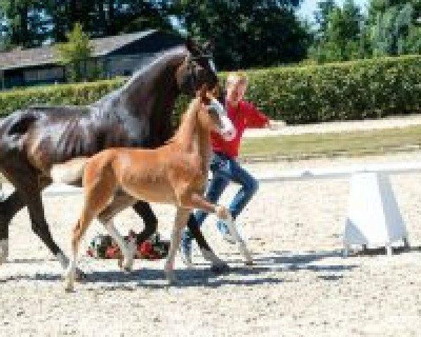 horse Oskar (Westphalian, 2018, from Ogano Sitte)