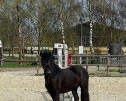 dressage horse Magnum Rosena (Dartmoor Pony, 2014, from Magnum Windstar)