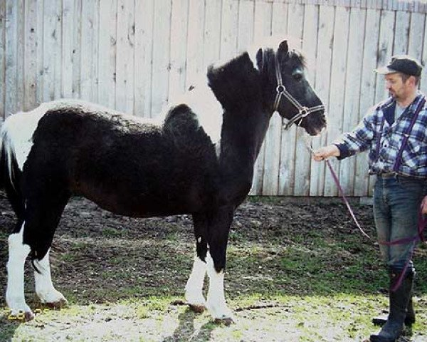 horse Peter I B 458 (Lewitzer, 1981, from Poncho B 387)
