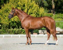 dressage horse Feuertanz (Hanoverian, 2013, from Foundation 2)