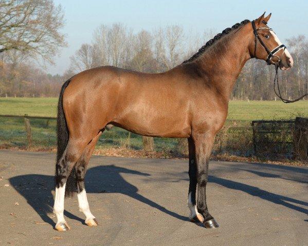 dressage horse Zoom (Hanoverian, 2014, from Zack)