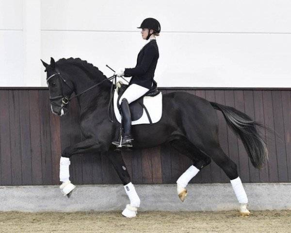dressage horse Suarez (Hanoverian, 2015, from Sezuan)