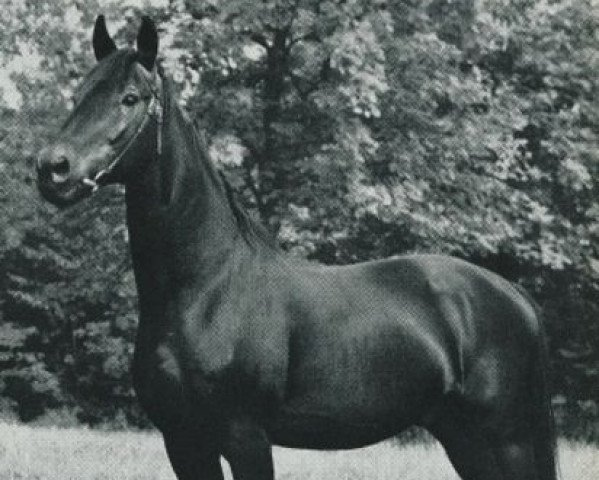 horse Hansakapitän (Trakehner, 1941, from Bussard)