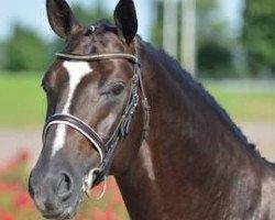 dressage horse Black Ruby (Oldenburg, 2008, from Belissimo NRW)
