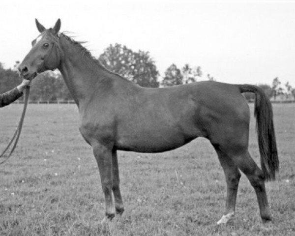 horse Abfahrt (Trakehner, 1923, from Pirol)