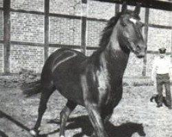 horse Matador (Hanoverian, 1966, from Marconi)