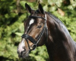 dressage horse Sungold 2 (Oldenburg, 2003, from Sandro Hit)