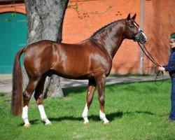 dressage horse Quaterback (German Sport Horse, 2003, from Quaterman I)