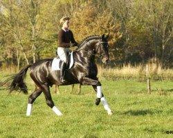 dressage horse Stedinger (Oldenburg, 2000, from Sandro Hit)