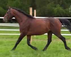 Pferd PERIL (Tschechisches Warmblut, 2016)