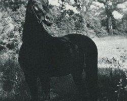 horse Gondolier (Trakehner, 1943, from Sporn)