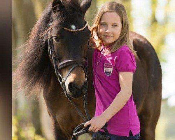 dressage horse Oak Tree Golden Tequila (Dartmoor Pony, 2003, from Cawsand Thunder)