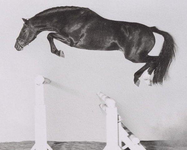 horse Cor de la Bryère (Selle Français, 1968, from Rantzau xx)