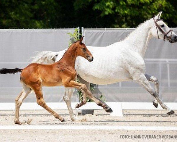 horse Kanaro LM (Hanoverian, 2021, from Karajan)