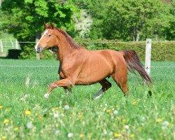 horse Shiloh (Hanoverian, 2008, from St. Moritz)