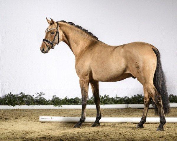 dressage horse Dan Kano AT (German Riding Pony, 2014, from Dimension AT)