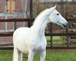 horse Colman (Holsteiner, 1996, from Carthago)