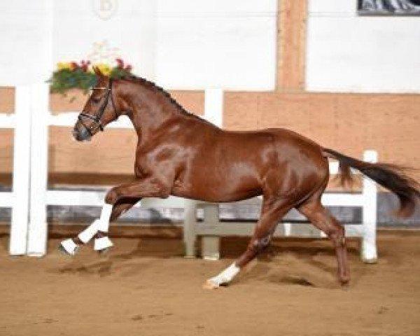 dressage horse Sapperlot (Hanoverian, 2014, from Scuderia)