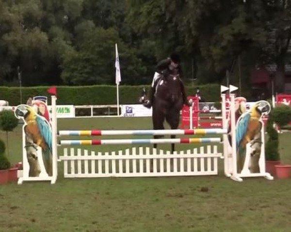 jumper Quinta 97 (Westphalian, 2007, from Quidam de Revel)
