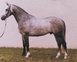 horse Versailles II (Selle Français, 1987, from Elf III)