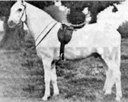 horse Sahara ox (Berber, 1908, from unknown)