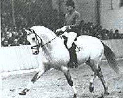 horse Inschallah AA (Anglo-Arabs, 1968, from Israel AA)