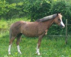 Bahia de Sol (German Riding Pony, 2000, of Bon Jovi)