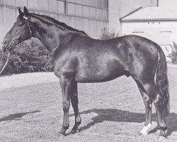 horse Colombo (Holsteiner, 1960, from Cottage Son xx)