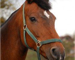horse Pandura (Holsteiner, 2000, from Leandro)