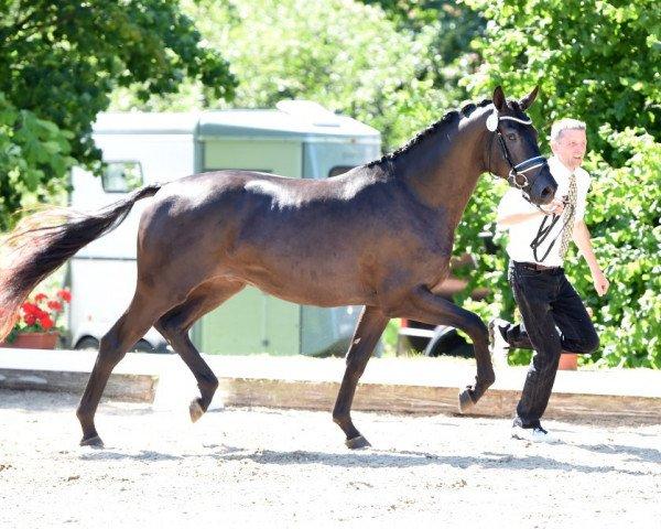 dressage horse Helium (Trakehner, 2013, from Millennium)