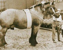 horse Matador de Buvrinnes (Brabant/Belgian draft horse, 1946, from Épernay de Brucom)