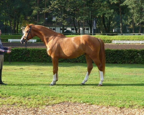 dressage horse Firenzio (Hanoverian, 2012, from Fiorano)