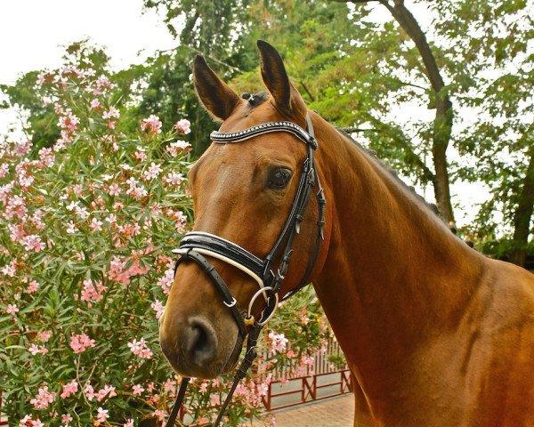 dressage horse Belucci 7 (Oldenburg, 2010, from Bentley)