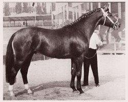 horse Diplomat (Hanoverian, 1963, from Duft I)