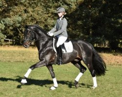 dressage horse Don Romanov (Bavarian, 2012, from Don Schufro)