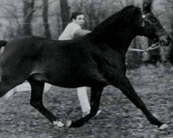 horse Downland Folklore (Welsh Partbred, 1977, from Downland Mohawk)