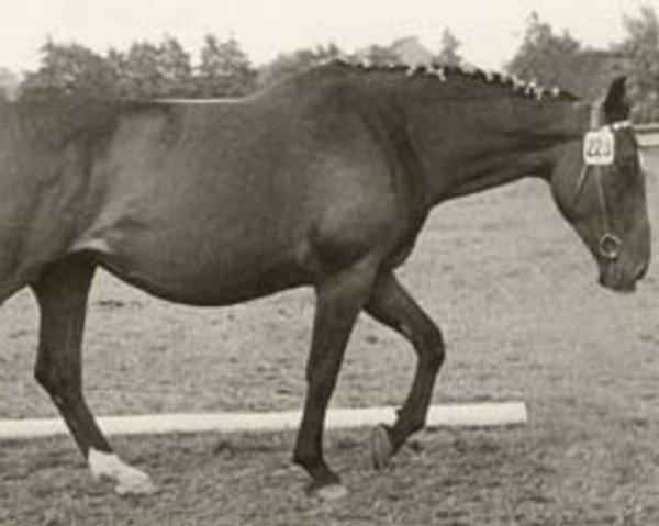 horse Warthburg (Holsteiner, 1962, from Aldato)
