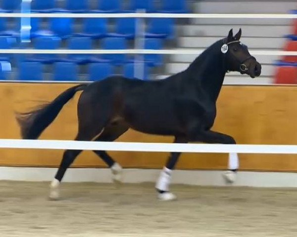 horse Hengst von Fürst Romancier (Oldenburg, 2012, from Fürst Romancier)