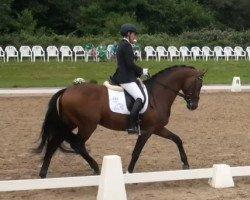 dressage horse Stanford (Rhinelander, 2009, from Sir Donnerhall I)