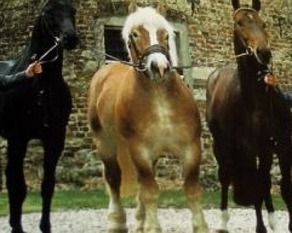 horse Allerliebster (Rhenish-German Cold-Blood, 1982, from Armin 4511)