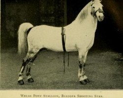 horse Bleddfa Shooting Star (Welsh mountain pony (SEK.A), 1901, from Dyoll Starlight)