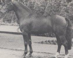 horse Grünberg (Westphalian, 1967, from Grünspecht)