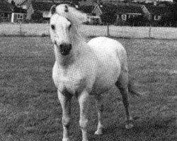 horse Rhyd-Y-Felin Selwyn (Welsh-Pony (Section B), 1956, from Coed Coch Blaen Lleuad)