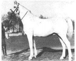 horse Shagya IX-7 (Shagya Arabian, 1903, from Shagya IX)