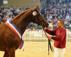 jumper Casaltino (Holsteiner, 2011, from Casall Ask)