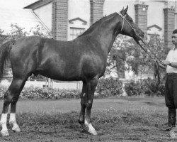 horse Knippel 1954 ox (Arabian thoroughbred, 1954, from Korej 1939 ox)