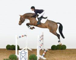 jumper Stanfour 4 (Holsteiner, 2008, from Singulord Joter)