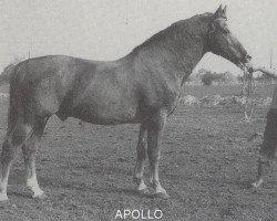 horse Apollo Sgldt 1188 (Gelderland, 1959, from Roland Sgldt 1114)