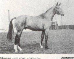 horse Gibramino (Selle Français, 1972, from Ibrahim AN)